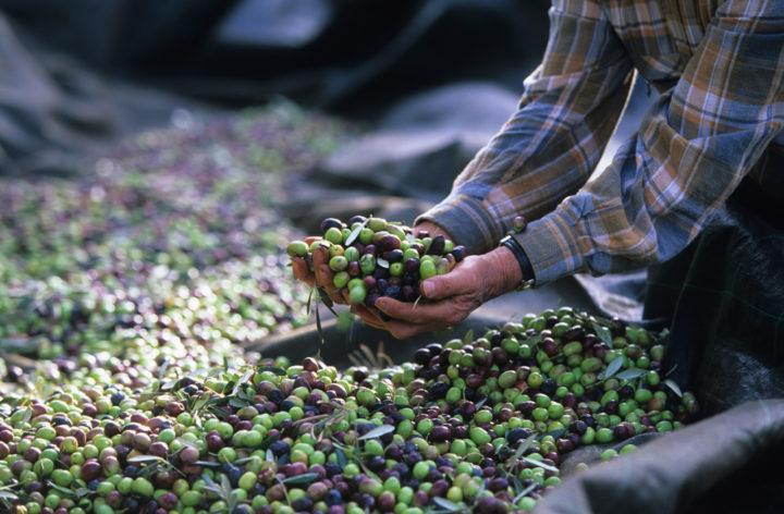 France (04) - Alpes - de - Haute - Provence -Les Mées - Récolte des olives vers les Mées